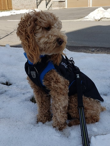 Cockapoo wearing a jacket while sitting in the snow.