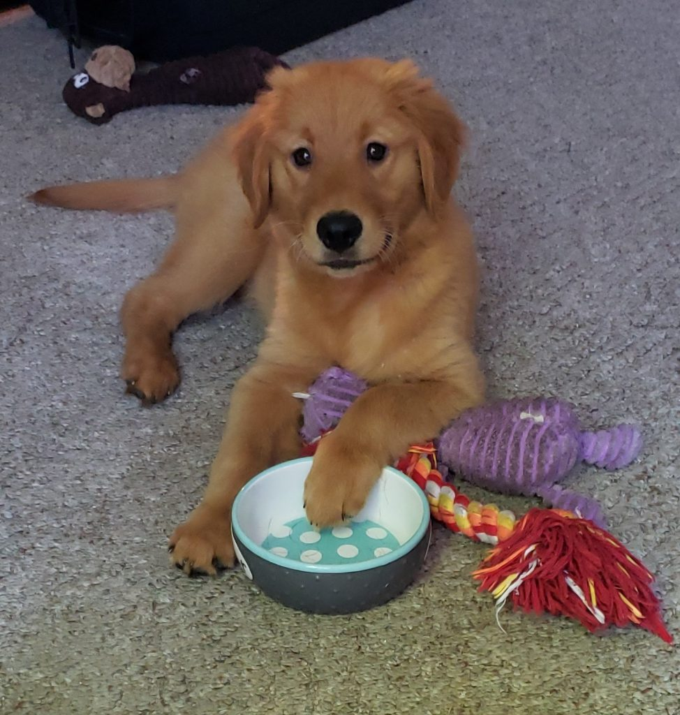 Golden Retriever Puppy with Paw in Water Dish